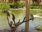 African_Grey_Parrots.JPG