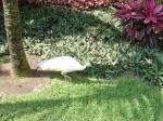 White_Peacock.JPG