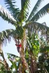 Banana_tree_in_bloom.jpg